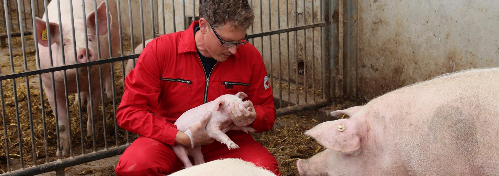 Tierarzt für Schweine