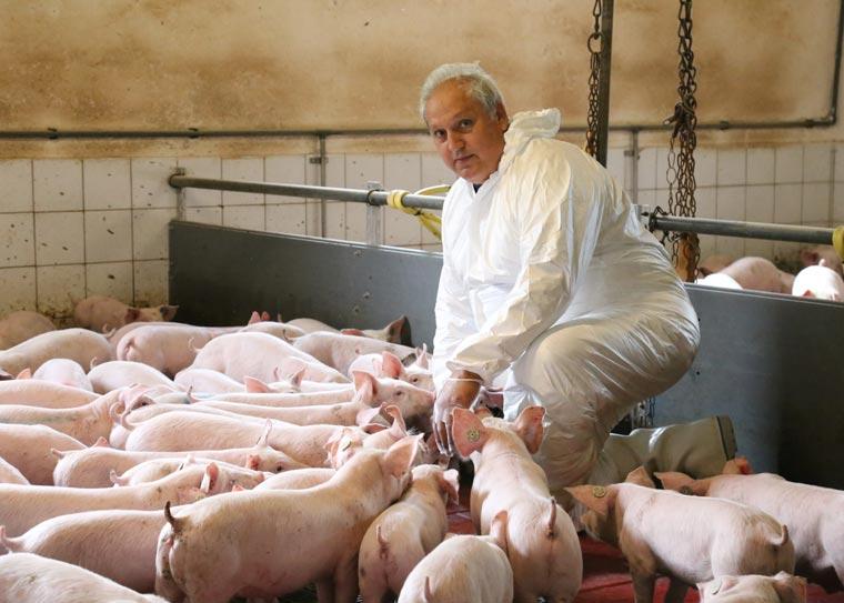 Betreuung von Schweinen
