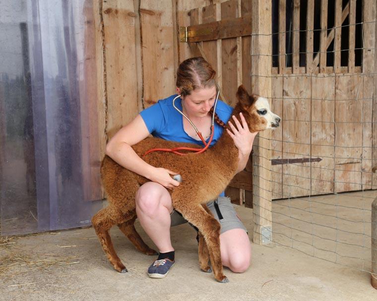 Untersuchung von Baby-Alpaka